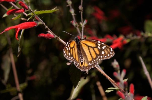 El Rosario Monarch Butterfly Sanctuary, Michoacan, Mexico